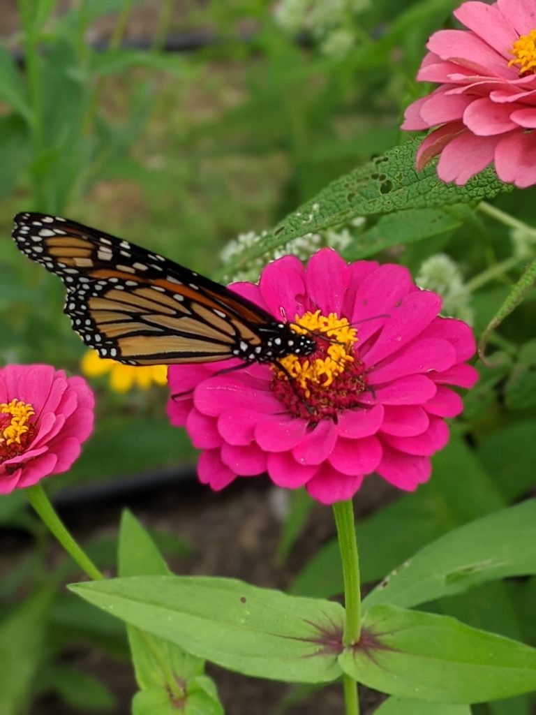 A monarch sits on a zinnia.